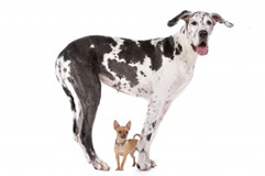 Picture of Great Dane and Chihuahua